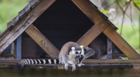 Lemur on a hut photo
