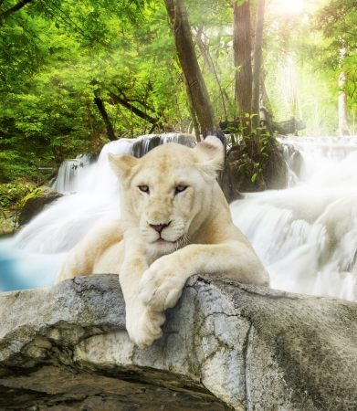 lions rock: White lion with wild background.