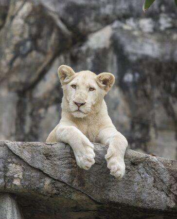 León blanco sobre la roca