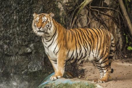 siberian tiger: Portrait of a Royal Bengal tiger