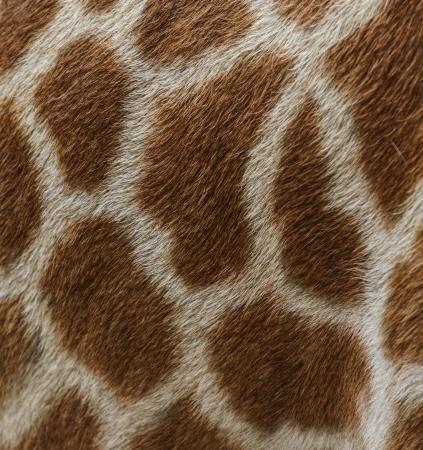 jirafa fondo blanco: la piel de cuero genuino de la jirafa