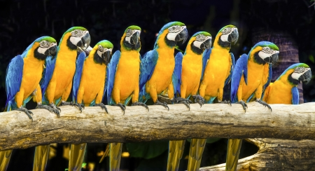 Blue macaws sitting on log with black background  Imagens