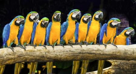 loro: Guacamayos azules se sientan en registro con el fondo negro