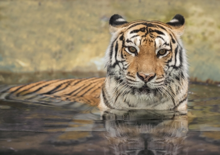 tigresa: tigre asiático en el agua