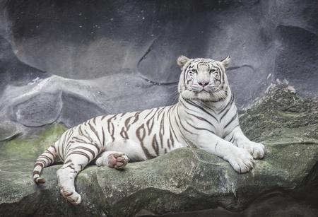 WHITE TIGER sleep on a rock  photo