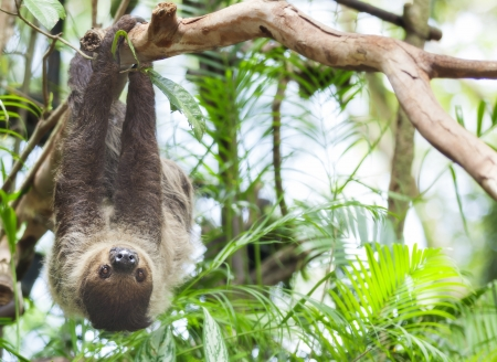 brown throated: Three-toed Sloth in nature