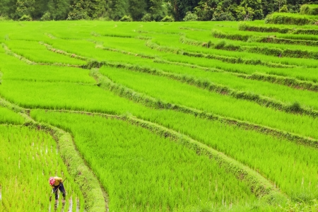 Lush green rice field and blue sky, In Asia photo