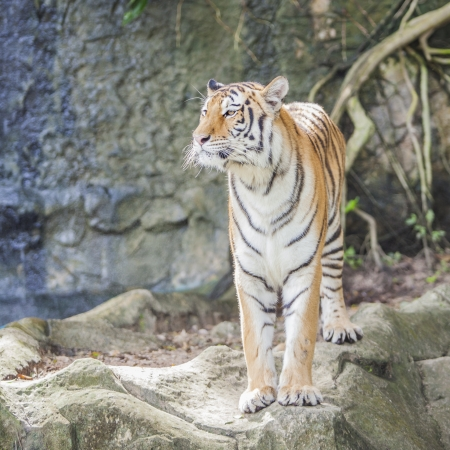 panthera tigris: Portrait of a Royal Bengal tiger Stock Photo