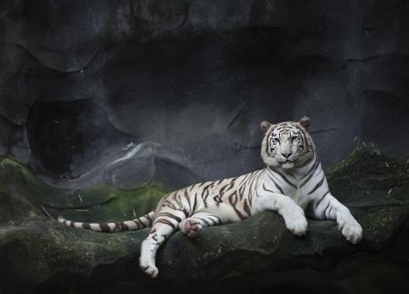 tigre blanc: WHITE TIGER sommeil sur un rocher