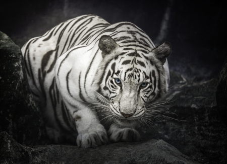 white tigers: white tiger sit and on the rock Stock Photo