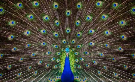Portrait of beautiful peacock with feathers out Фото со стока - 24633927