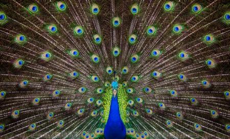 pluma de pavo real: Retrato de hermoso pavo real con plumas