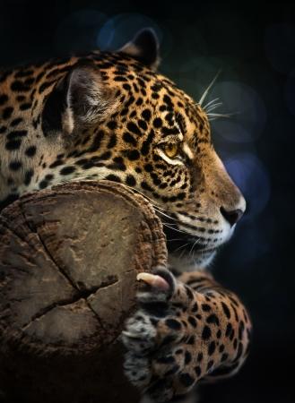jaguar: Jaguar primer plano Foto de archivo