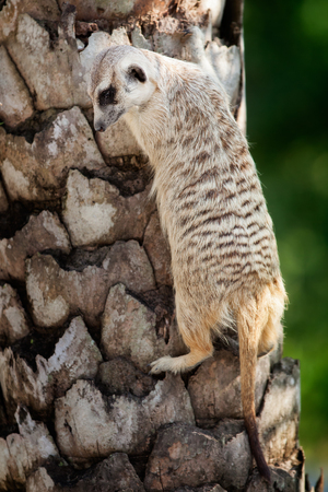 suricata suricatta: Portrait  of meerkat on the tree with nature frame
