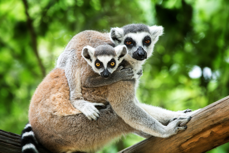 cuddly: close-up of a ring-tailed lemur with her cute babies (Lemur catta)