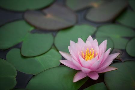 lirio acuatico: Este hermoso sol o lotus flor se complementa con los ricos colores de la superficie del agua azul profundo.