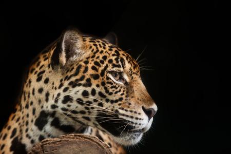 leopard head: Jaguar portrait in the night time