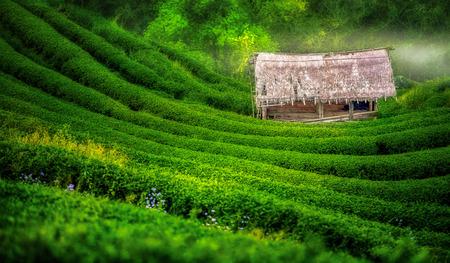 darjeeling: Tea plantation in the Doi Ang Khang, Chiang Mai, Thailand