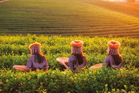 Kid y campo de té verde en Fong Feng, Chiang Rai, cerca de Angkhang, Chiang Mai, Tailandia Foto de archivo - 72309172