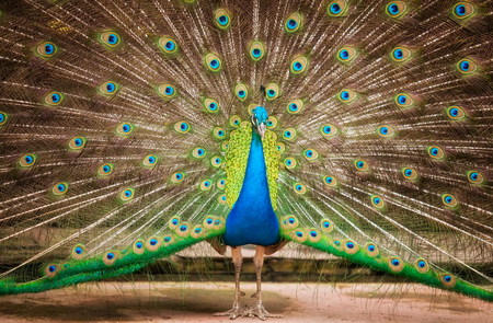 bird feathers: Portrait of beautiful peacock with feathers out,animal, bird,