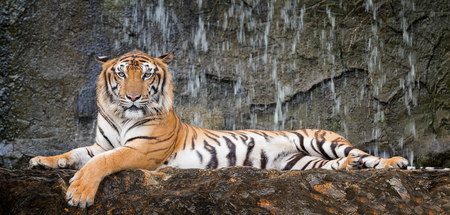 Tiger sit in deep wild, animal and jungle concept.