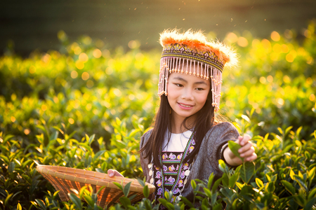 Harvest of green tea leaf by a girl with sunset light, farmer, tea, industrial, Thailand and travel concept