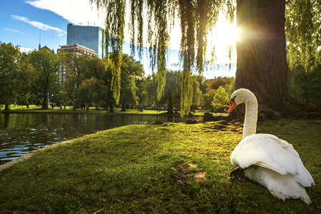 White swan in lake on the paek with green and city background , Boston city, Massachusetts, USA