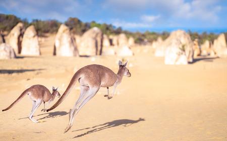 Salto de la familia canguro en el parque Pinnacles Rock en el desierto de Nambung, Australia, esta imagen se puede utilizar para Kangapoo, animal, viajes, concepto de Australia Editorial