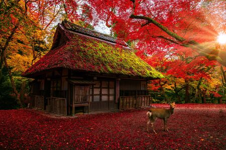 Deer walk on stack of maple  in autumn with traditional hut background Imagens