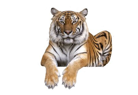 Tiger looking camera ,Tiger bengal sit action,Dangerous animal,Big hunter animal in the forest and isolated on white background