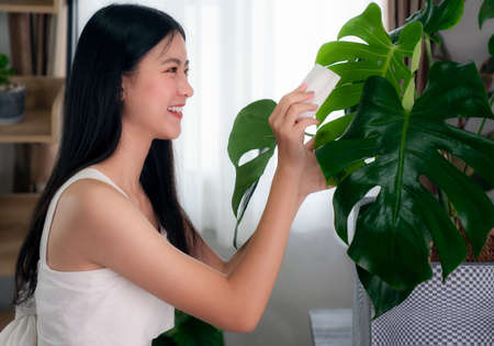 Asian woman clean a monstera leaves in her condominium, this image can use for plant, hobby, home and decore concept