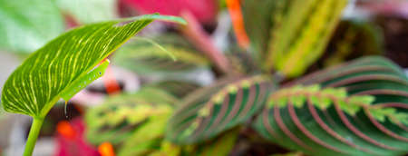 chrysalis butterfly eat a leaves of prayer plant or Maranta plant in garden Imagens