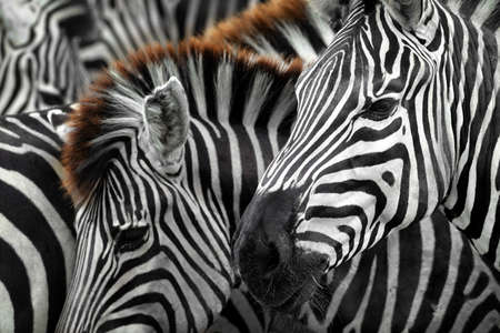 zebra head with black and white strip pattern background