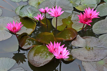 Nymphaea Cyanea is synonym of Nymphaea Nouchali is the nation flower of Sri Lanka and of Bangladesh.