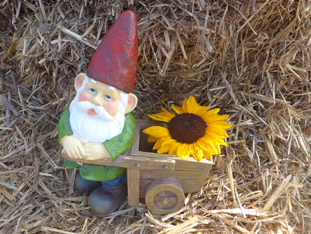 Garden dwarf with wheelbarrow and sunflower in front of a pile of straw