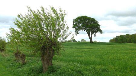 Weidenbaum vor einem Roggenfeld im Frühjahr Standard-Bild