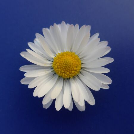 Blossom of a white flower, daisy, bellis perennis, close-up, on blue background