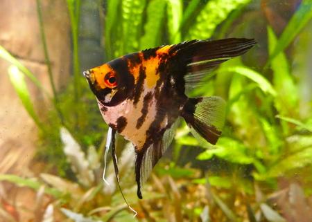 Red devil scalar, a beautiful freshwater aquarium fish Stock Photo