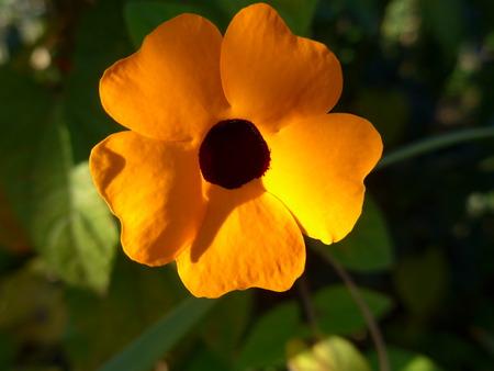 Summer flower, black-eyed Susan, blossom, thunbergia alata, close-up Stock Photo