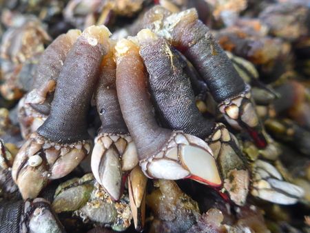 Percebes, barnacles, crustaceans, delicacy, seafood. (Percebes) (Pedunculata) (Pollicipes pollicipes) Goose necked barnacles are known in Spain and Portugal as Percebes and are valued as seafood