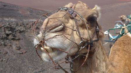 Close-up view of the head of a camel (scientific name camelus dromedarius) at Timanfaya National Park, Lanzarote,
