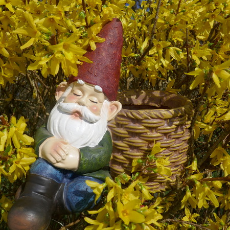 Asleep garden gnome sits in a blooming forsythia bush and leans against a brown basket