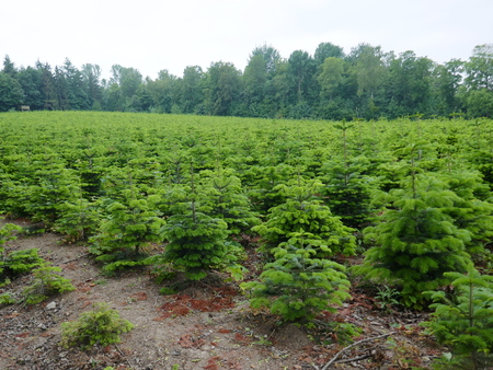 Nursery, plantation of small spruces and firs