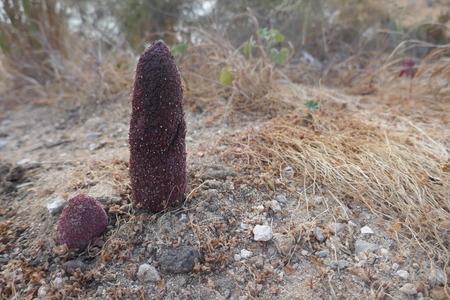 Desert Thumb (Cynomorium coccineum) or Maltese Sponge. Rare plant species, for Chinese medicine