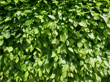 Fresh green leaves in spring, closeup, format-filling