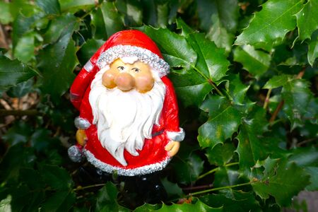 Santa Claus in the garden. A cute little gnome in Santa Claus costume hides in the garden between holly branches. Aquifoliaceae, Ilex meservae, (Not copyrighted) Zdjęcie Seryjne - 130685905