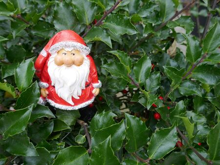 Santa Claus in the garden. A cute little gnome in Santa Claus costume hides in the garden between holly branches. Aquifoliaceae, Ilex meservae, (Not copyrighted) Stockfoto