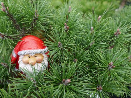 Santa Claus in the woods. A cute little gnome with santa hat looks out between pine branches. (Not protected by copyright)