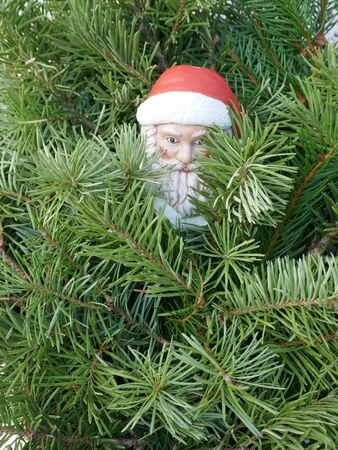 Santa Claus in the woods. A little gnome with Santa hat looks out between pine branches. (Not protected by copyright)