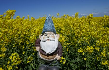 Garden gnome with slipping trousers and bare belly in front of blooming rape field (Not protected by copyright)